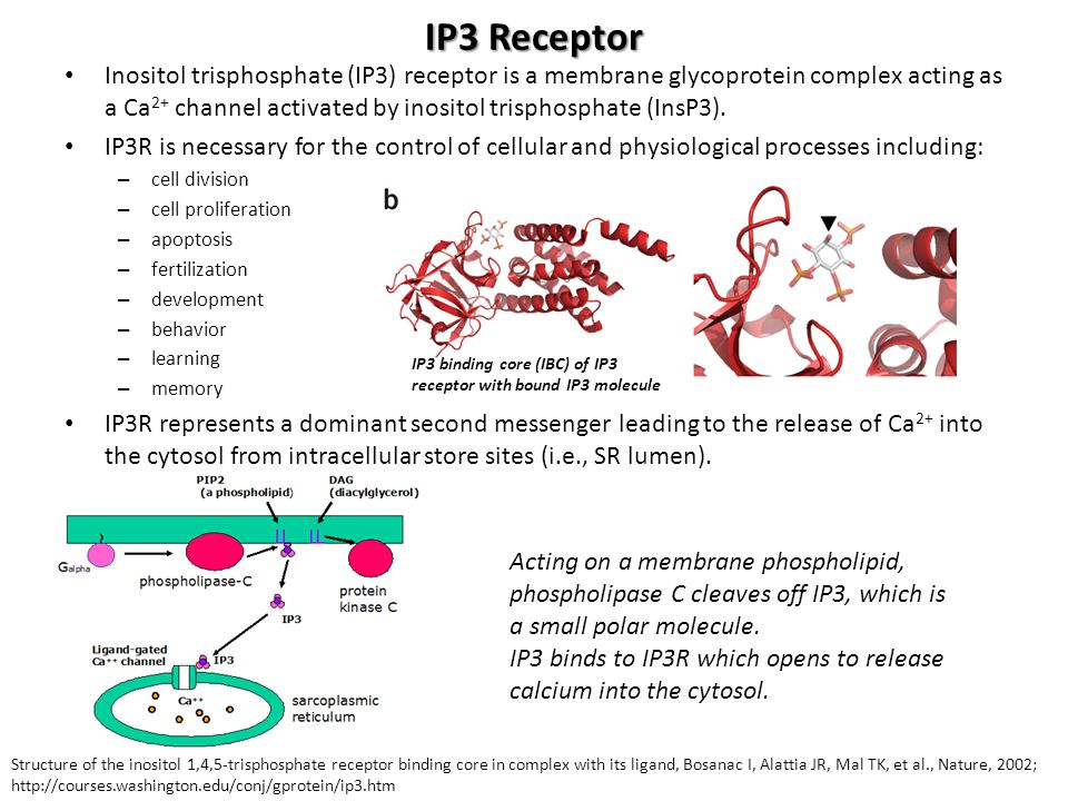 IP3 Receptor