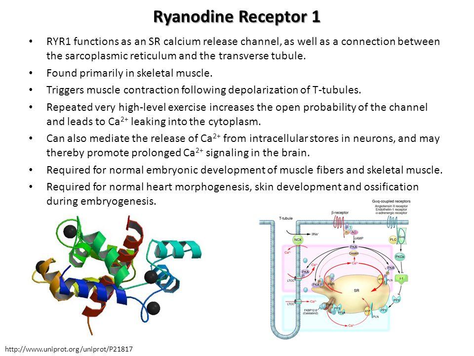 Ryanodine Receptor 1