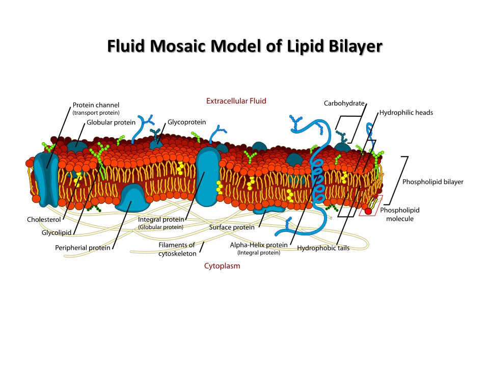 Fluid Mosaic Model of Lipid Bilayer