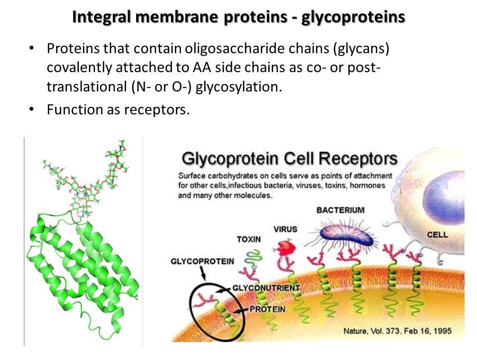 Integral membrane proteins - glycoproteins