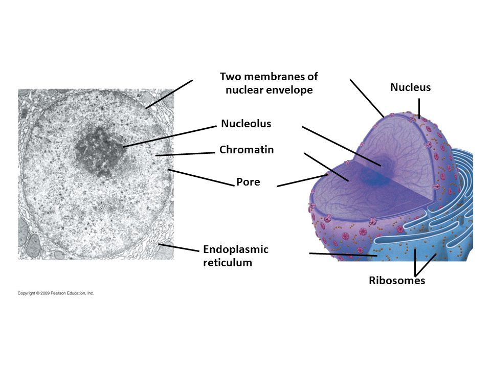 Two membranes of nuclear envelope