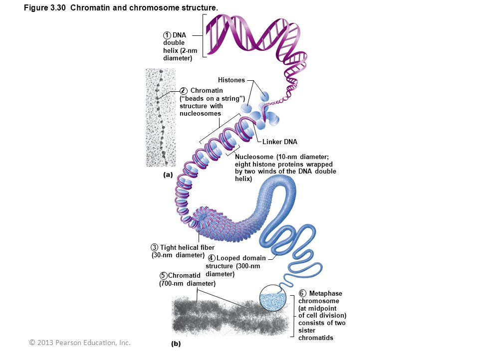 Figure 3.30 Chromatin and chromosome structure.