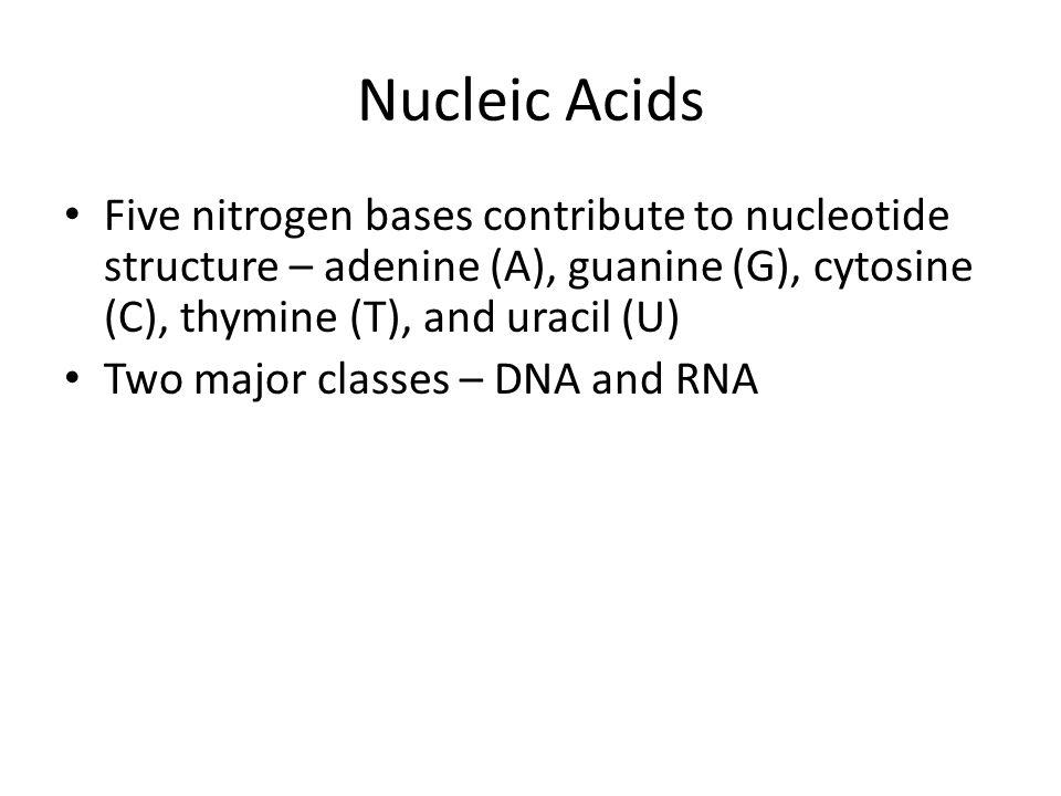 Nucleic Acids Five nitrogen bases contribute to nucleotide structure – adenine (A), guanine (G), cytosine (C), thymine (T), and uracil (U)