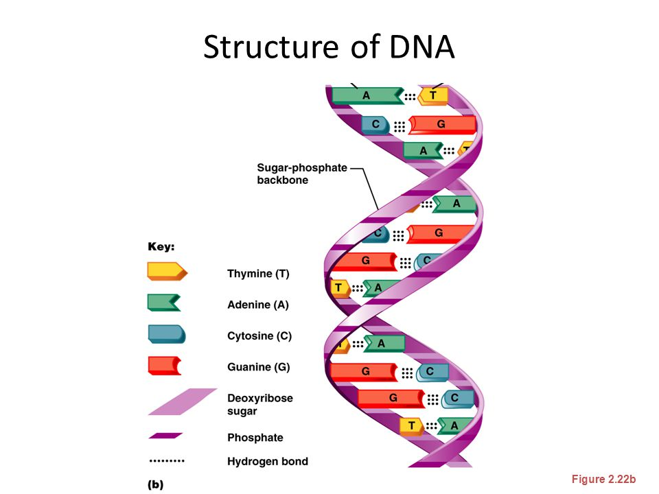 Structure of DNA Figure 2.22b