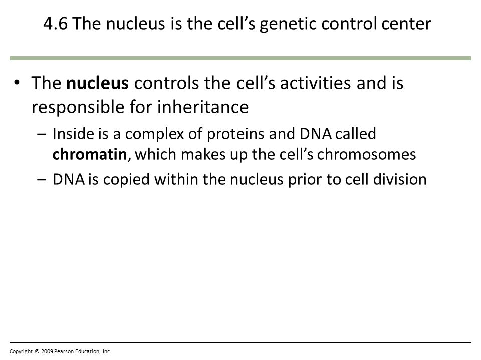4.6 The nucleus is the cell's genetic control center