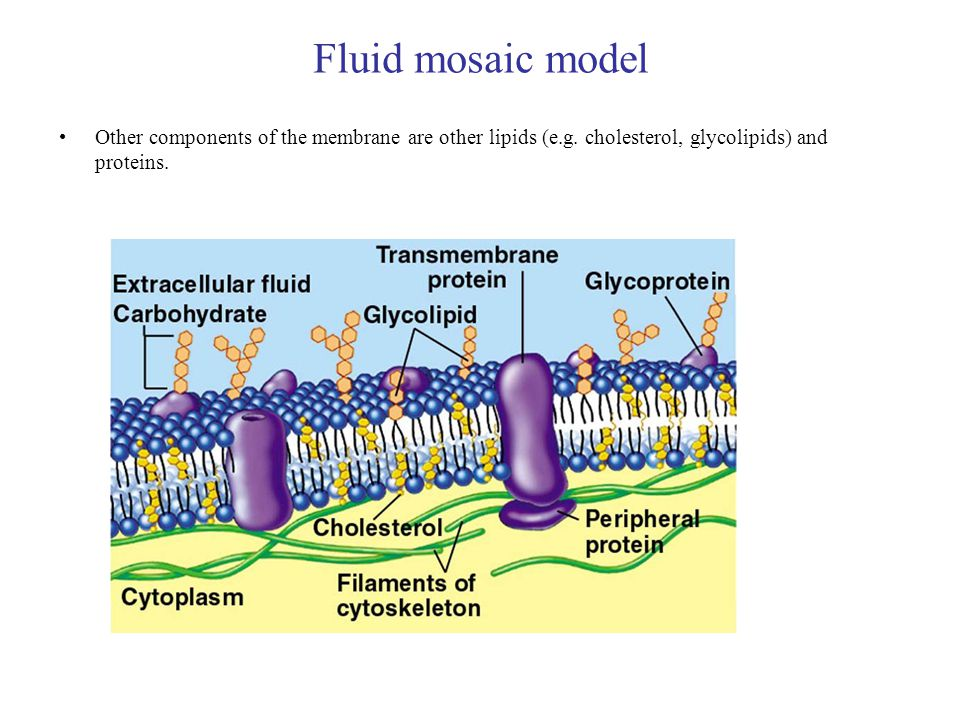 Fluid mosaic model Other components of the membrane are other lipids (e.g.