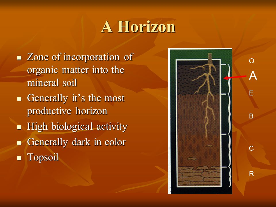 A Horizon Zone of incorporation of organic matter into the mineral soil. Generally it's the most productive horizon.