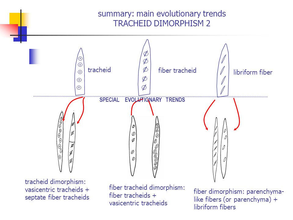 summary: main evolutionary trends TRACHEID DIMORPHISM 2