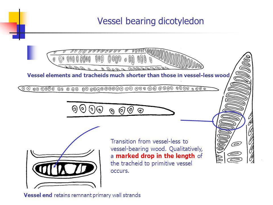 Vessel bearing dicotyledon