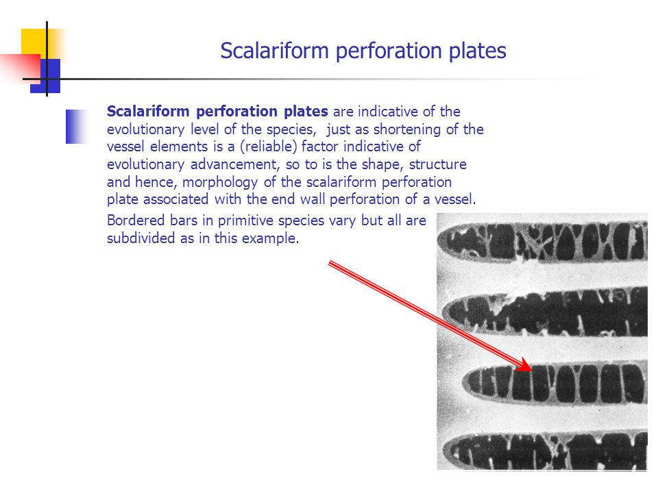 Scalariform perforation plates