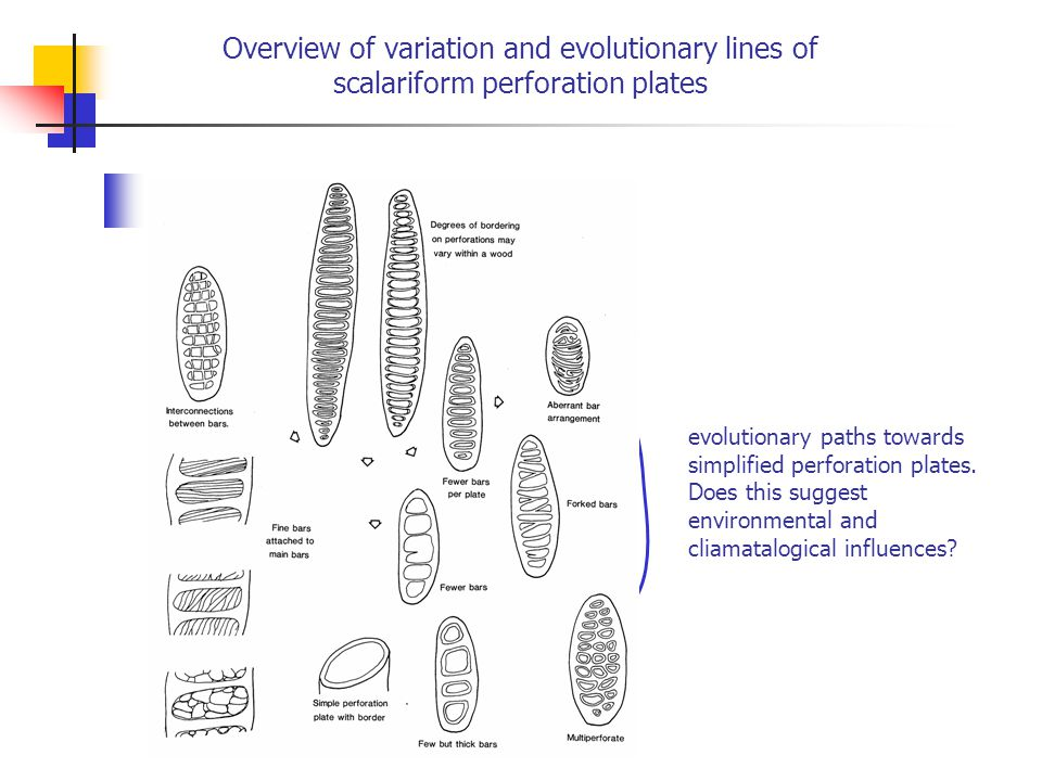 Overview of variation and evolutionary lines of scalariform perforation plates