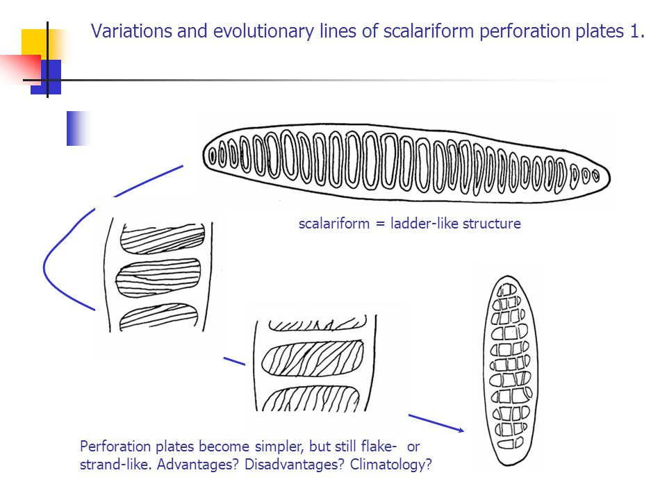 Variations and evolutionary lines of scalariform perforation plates 1.