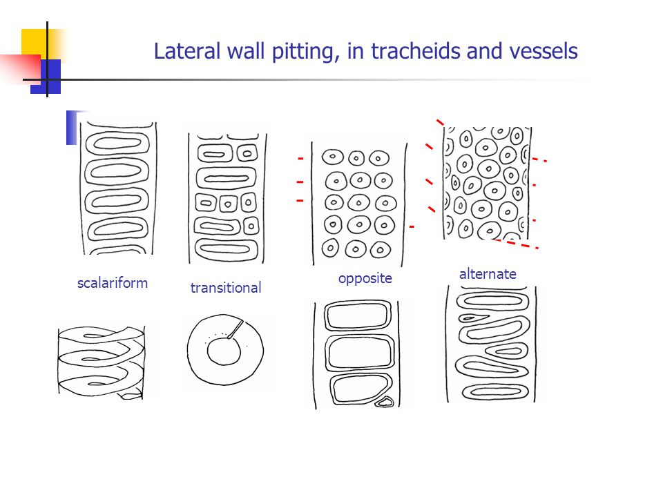 Lateral wall pitting, in tracheids and vessels