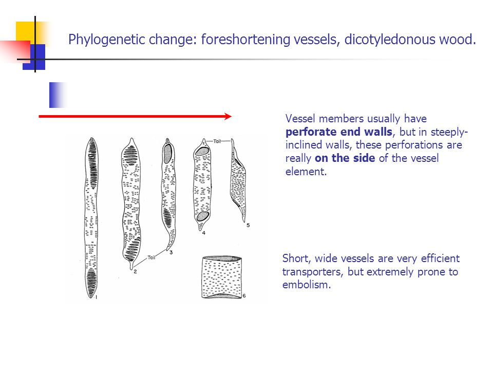 Phylogenetic change: foreshortening vessels, dicotyledonous wood.
