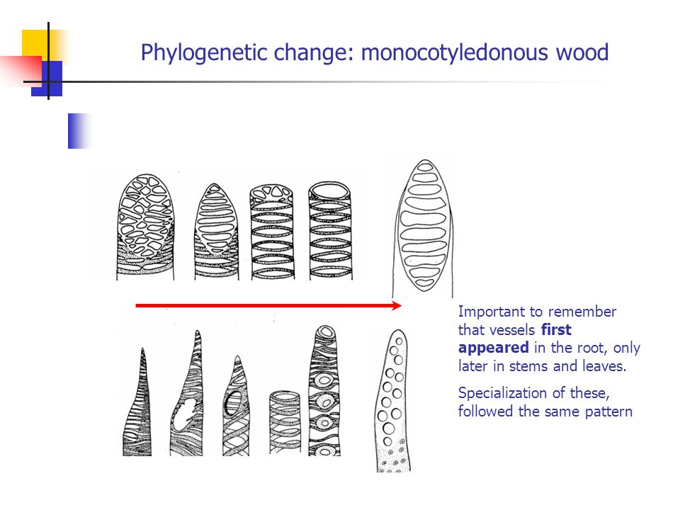 Phylogenetic change: monocotyledonous wood