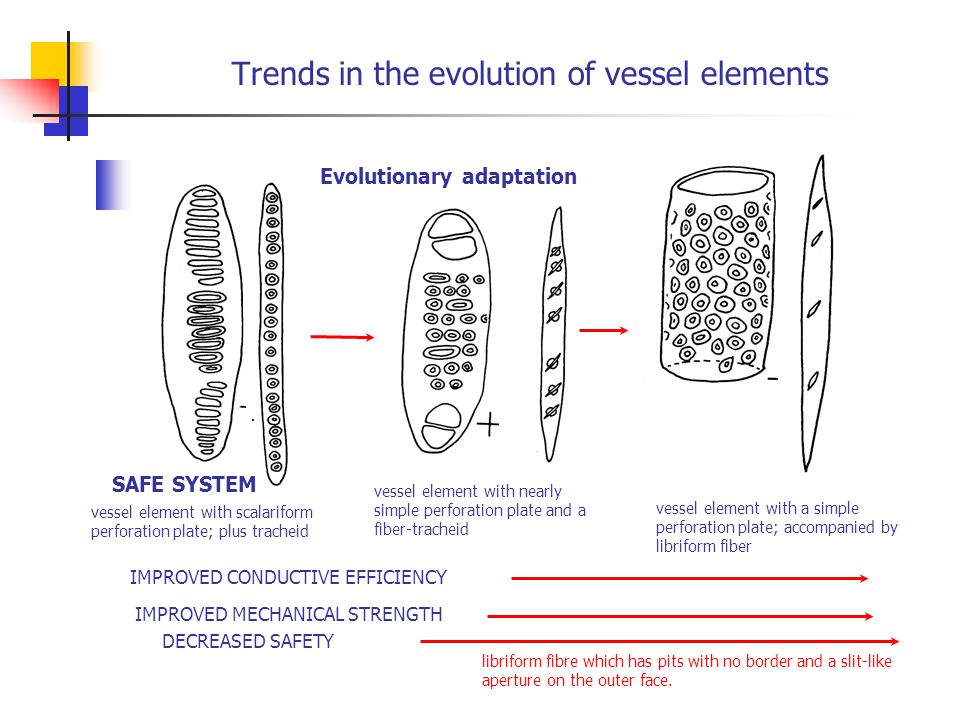 Trends in the evolution of vessel elements
