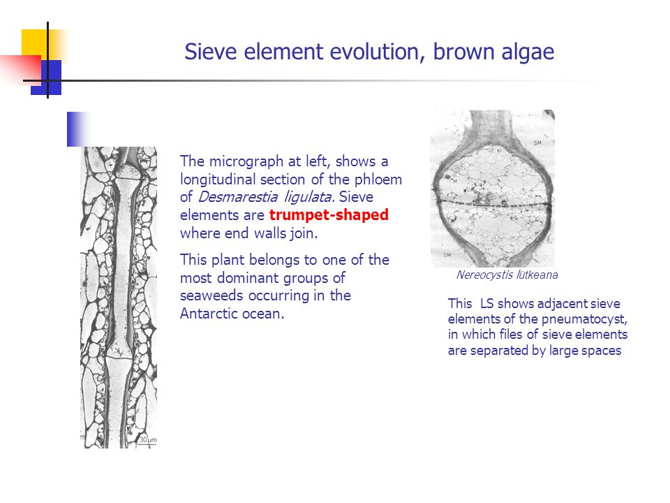 Sieve element evolution, brown algae