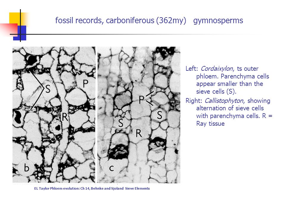 fossil records, carboniferous (362my) gymnosperms