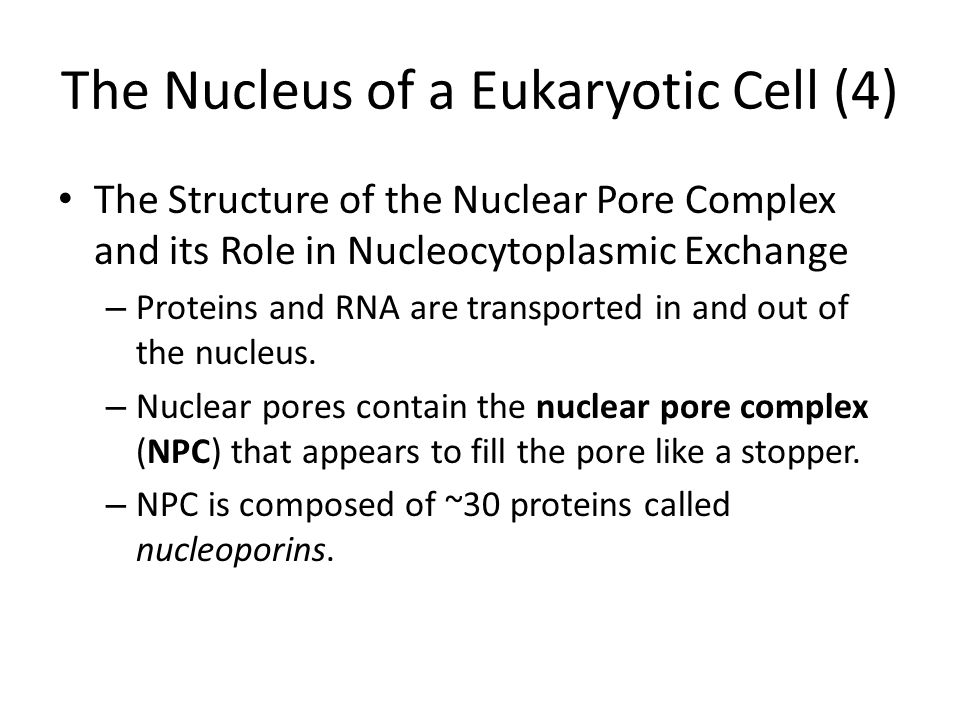 The Nucleus of a Eukaryotic Cell (4)