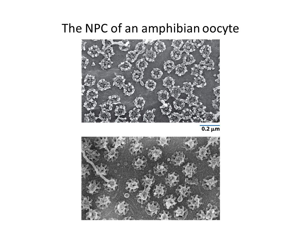 The NPC of an amphibian oocyte