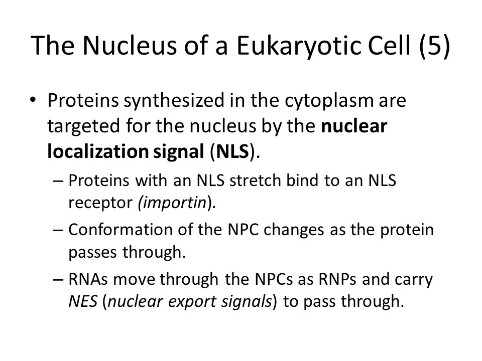 The Nucleus of a Eukaryotic Cell (5)
