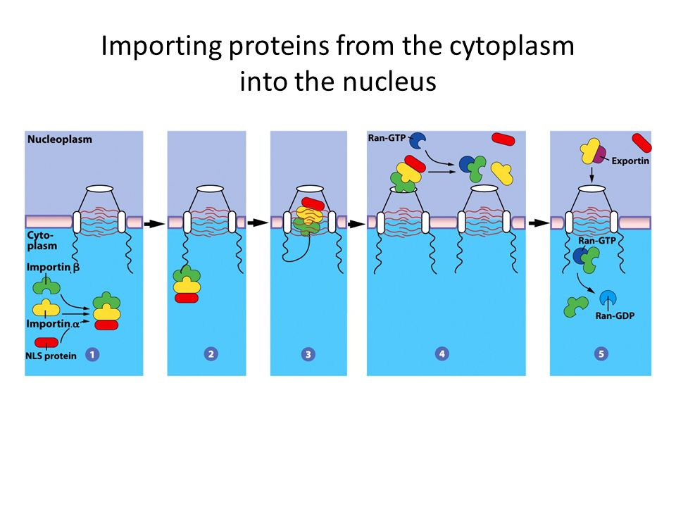 Importing proteins from the cytoplasm into the nucleus
