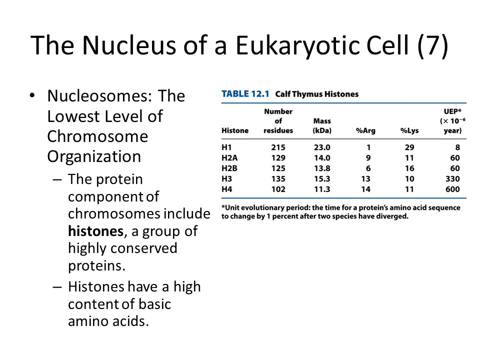 The Nucleus of a Eukaryotic Cell (7)