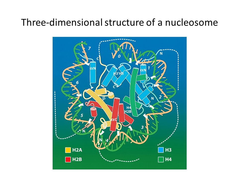 Three-dimensional structure of a nucleosome