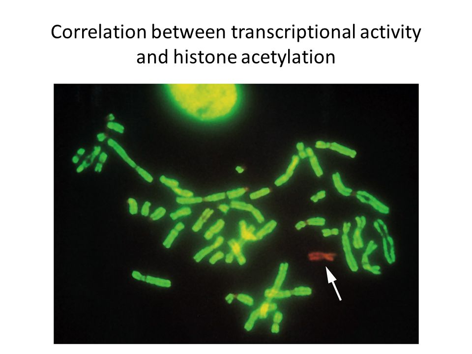 Correlation between transcriptional activity and histone acetylation