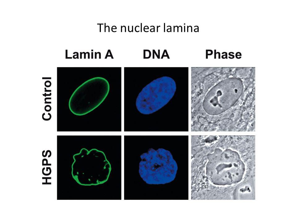 The nuclear lamina