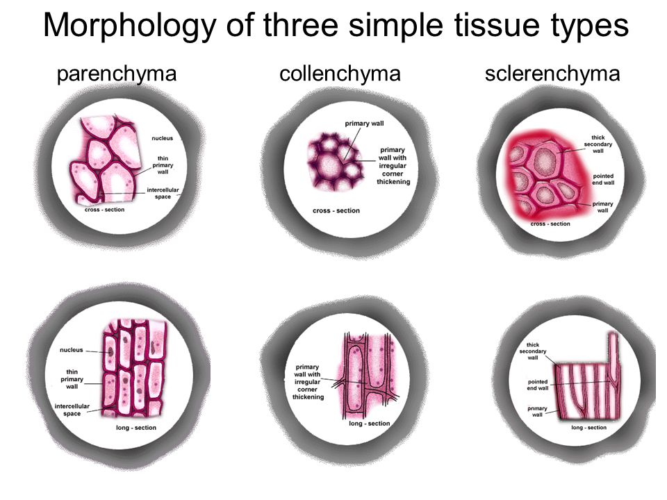 Morphology of three simple tissue types