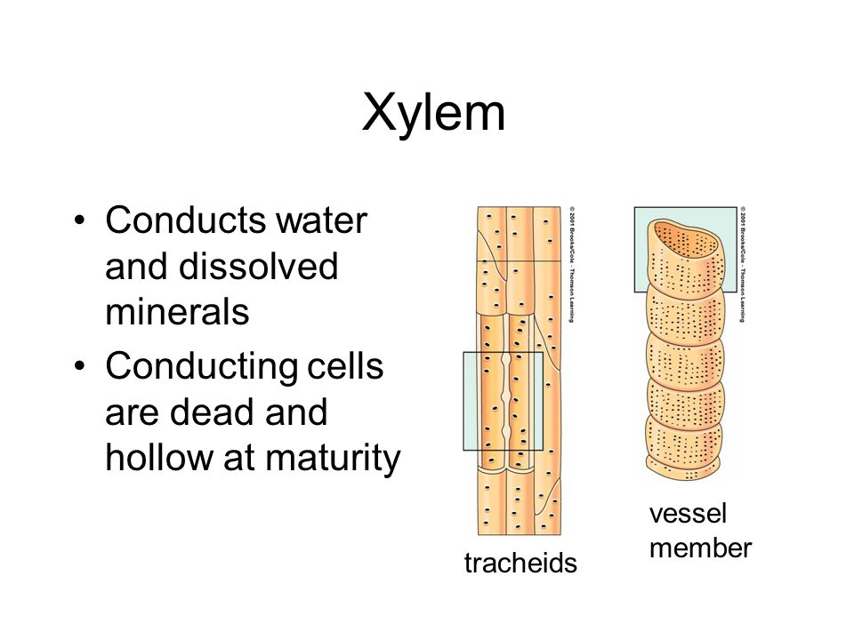 Xylem Conducts water and dissolved minerals