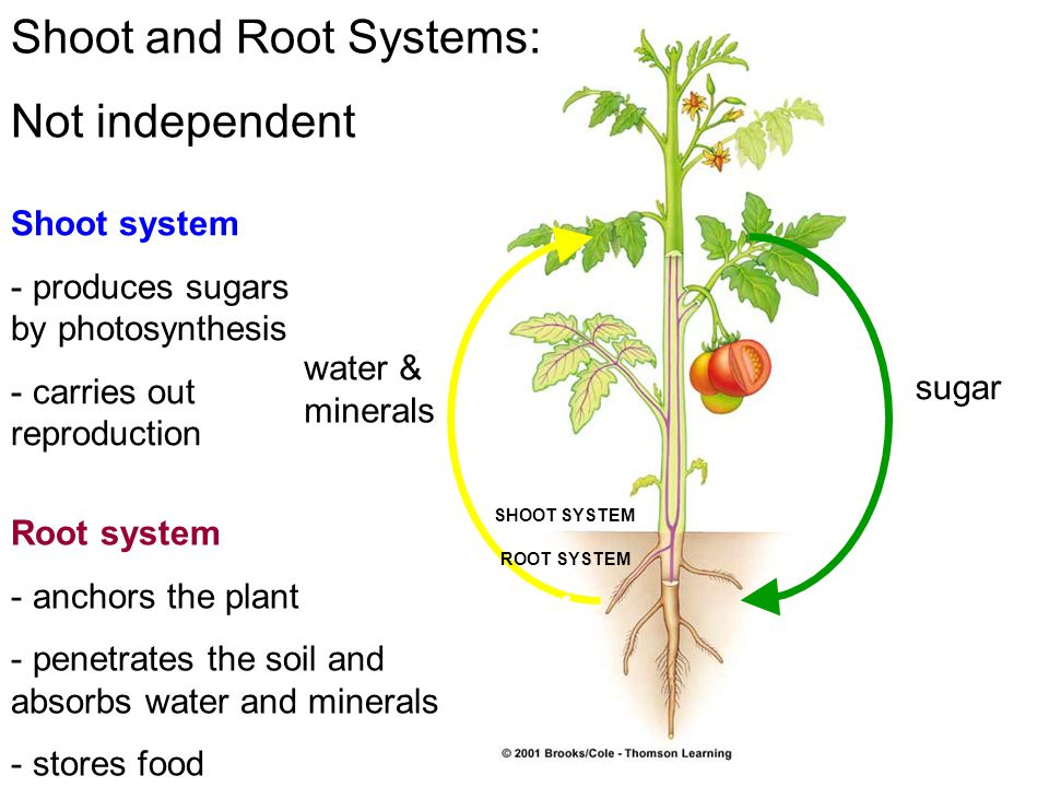 Shoot and Root Systems: Not independent