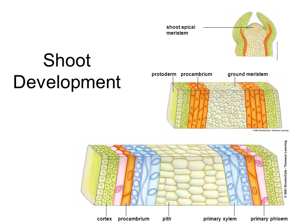 Shoot Development shoot apical meristem protoderm procambrium