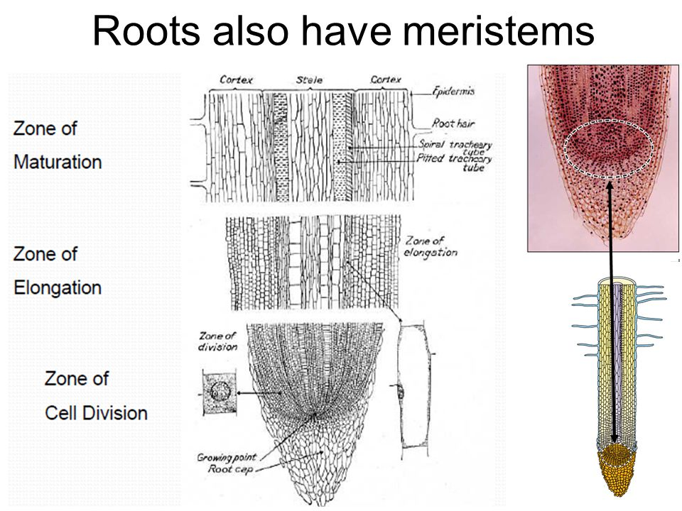 Roots also have meristems