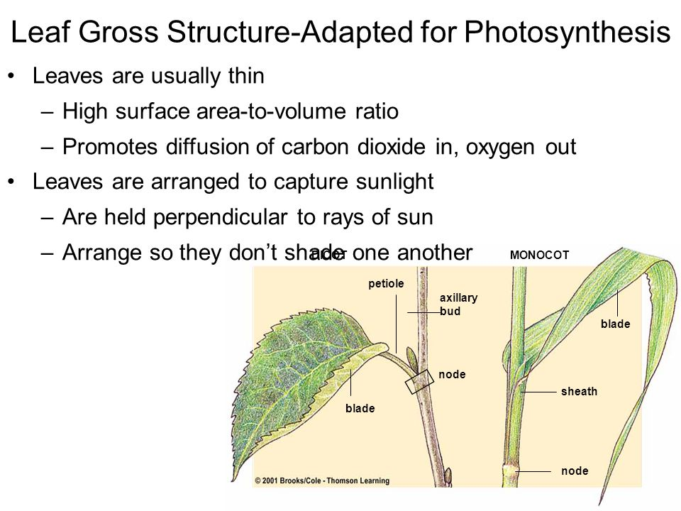Leaf Gross Structure-Adapted for Photosynthesis