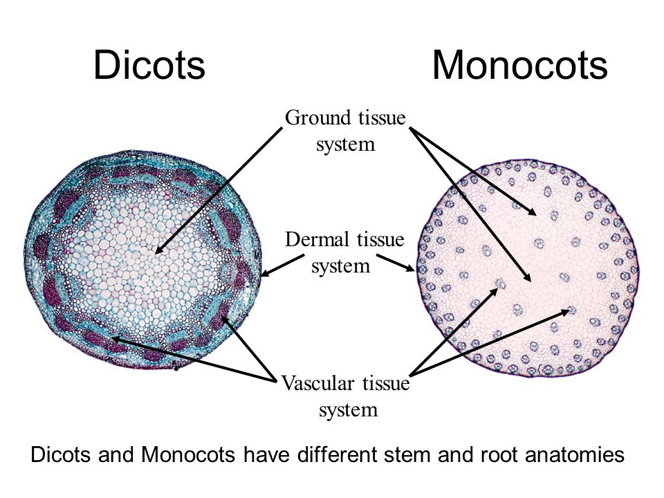 Dicots Monocots Ground tissue system Dermal tissue system