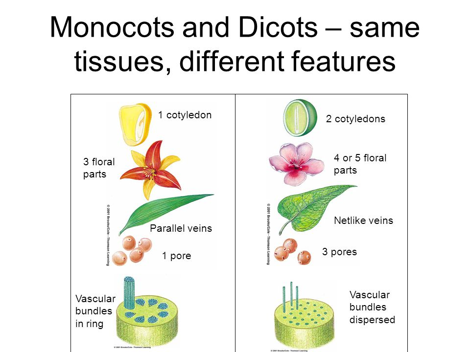 Monocots and Dicots – same tissues, different features