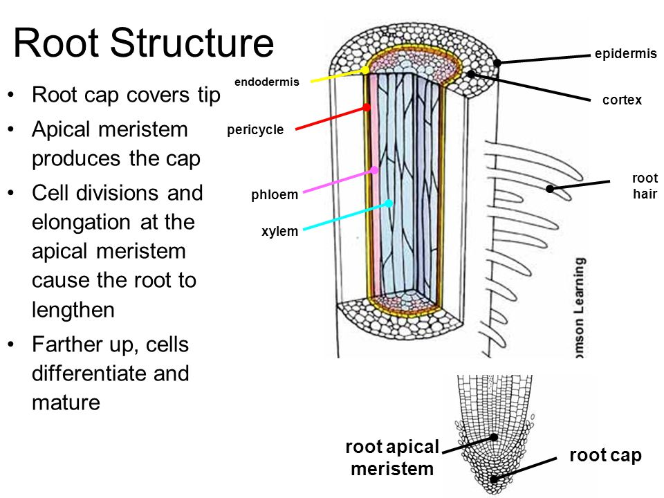 Root Structure Root cap covers tip Apical meristem produces the cap
