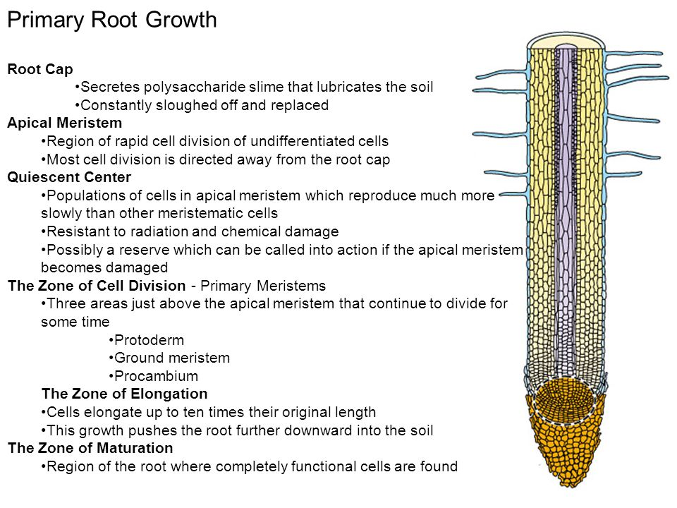 Primary Root Growth Root Cap