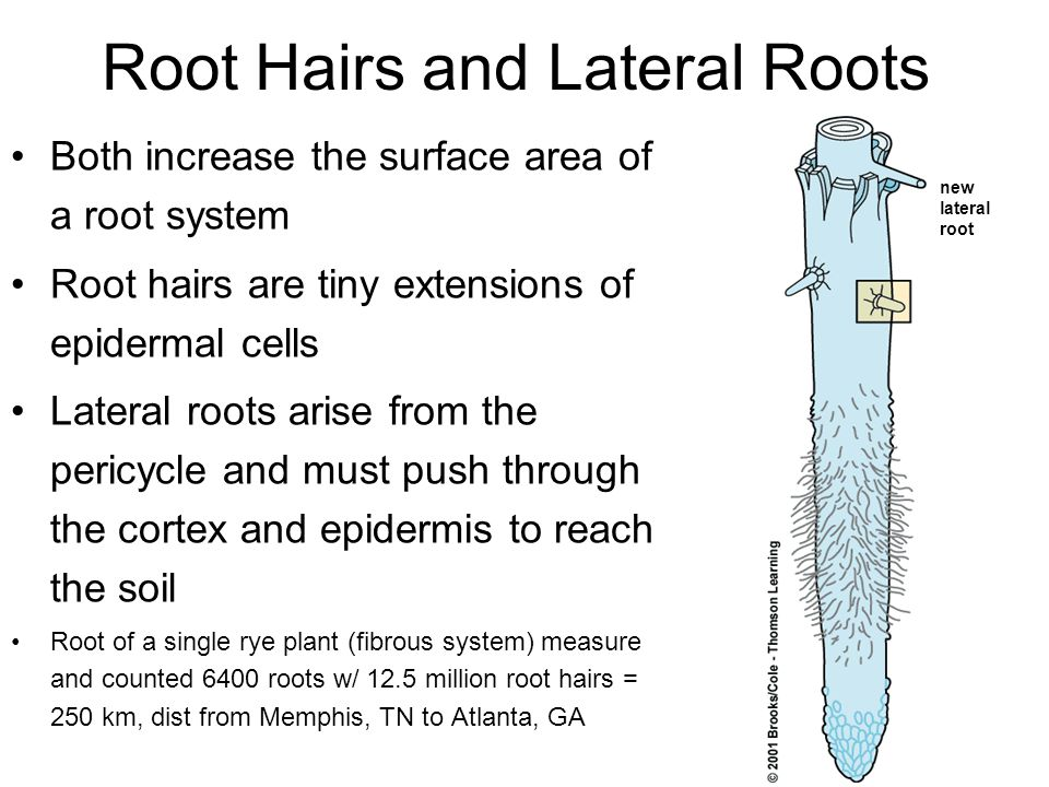Root Hairs and Lateral Roots