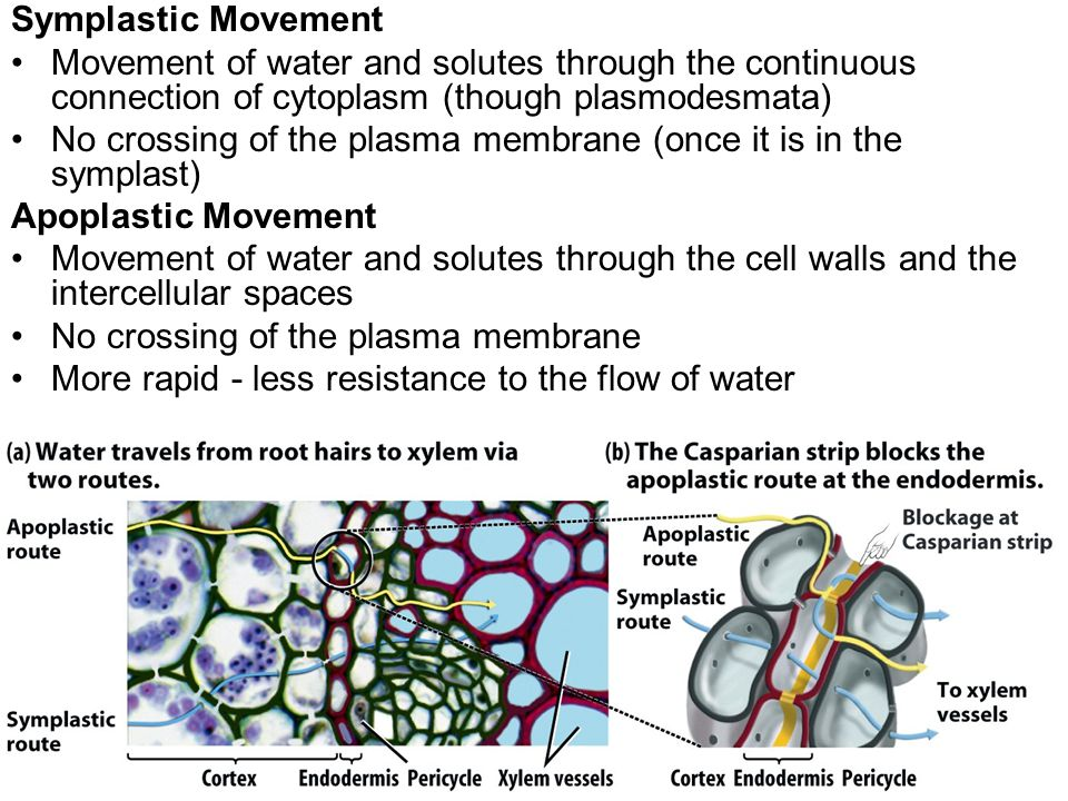 Symplastic Movement Movement of water and solutes through the continuous connection of cytoplasm (though plasmodesmata)