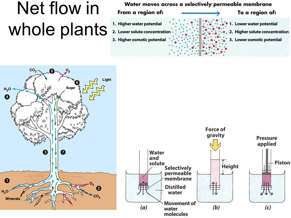 Net flow in whole plants