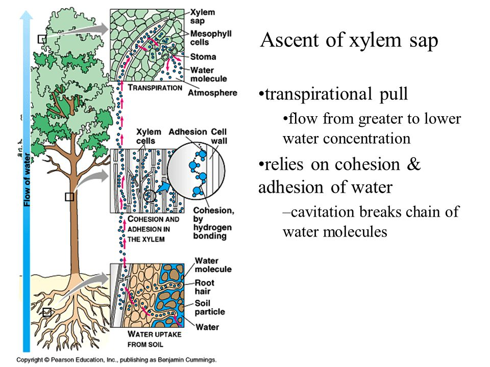 Ascent of xylem sap transpirational pull