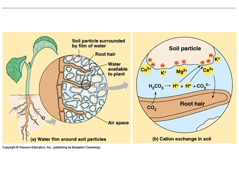 The availability of soil water and minerals