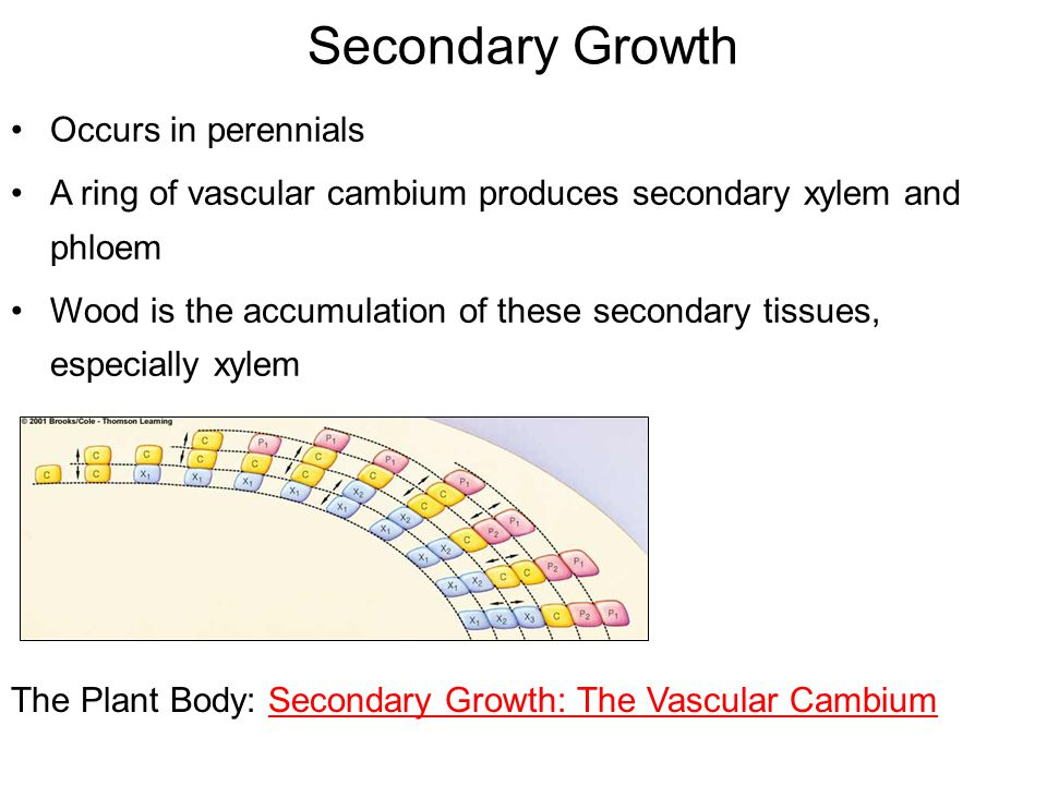 Secondary Growth Occurs in perennials