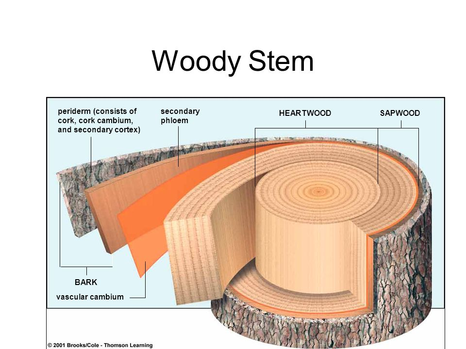 Woody Stem periderm (consists of cork, cork cambium,