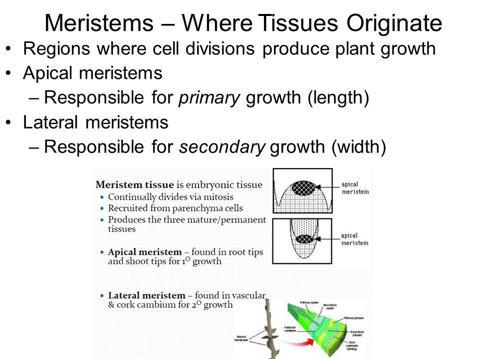 Meristems – Where Tissues Originate