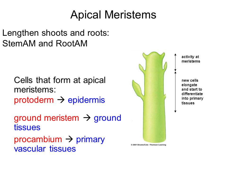 Apical Meristems Lengthen shoots and roots: StemAM and RootAM