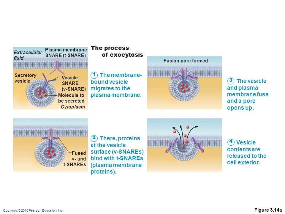 The process of exocytosis The membrane- bound vesicle migrates to the